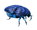 Scarab bug in front of white background Royalty Free Stock Images