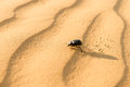 Scarab on sand dune in desert running dunes at sunset thar or great indian Stock Photos