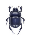 Scarabaeus sacer beetle