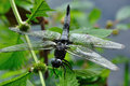 Scarce chaser libellula fulva on müllroser lake Royalty Free Stock Photos