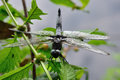 Scarce chaser libellula fulva on müllroser lake Royalty Free Stock Photo