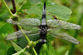 Scarce chaser libellula fulva on müllroser lake Royalty Free Stock Image