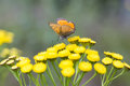 Scarce Copper butterfly on Tansy Flower