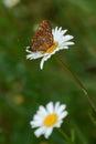 Scarce Fritllary (Euphydryas maturna) Royalty Free Stock Image