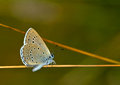 Scarce large blue maculinea teleius butterfly close up shot of a Stock Photography