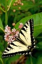 Scarce Swallowtail Royalty Free Stock Photo