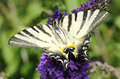 Scarce swallowtail Royalty Free Stock Photography