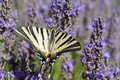 Scarce Swallowtail butterfly on lavender Royalty Free Stock Photo
