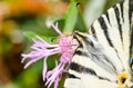 Scarce swallowtail butterfly macro details Stock Photos