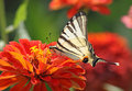 Scarce swallowtail butterfly sitting on flower zinnia Stock Photos