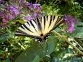 Scarce Swallowtail Royalty Free Stock Photo