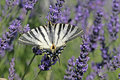 Scarce Swallowtail on Lavender Bloom, France Royalty Free Stock Images
