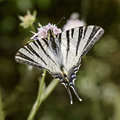 Scarce swallowtail from southern france europe iphiclides podalirius sail pear tree Stock Image
