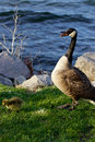Scare for the children cackling goose feels his Stock Image