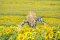 Scarecrow guarding sunflower fields