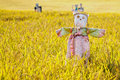 Scarecrow on the rice field Stock Image