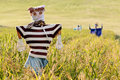 Scarecrow on the rice field Royalty Free Stock Photo