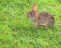 Scared bunny small rabbit that looks frightened on the grass Stock Image