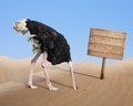 Scared ostrich burying head in sand near blank standing wooden signboard Royalty Free Stock Photo