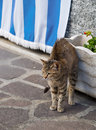 Scarey cat with arched back in street has seen a dog scene Royalty Free Stock Photography