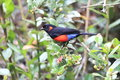 Scarlet bellied mountain tanager anisognathus igniventris in ecuador Stock Photos