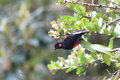 Scarlet bellied mountain tanager anisognathus igniventris in ecuador Stock Images