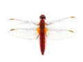 Scarlet dragonfly crocothemis erythraea isolated on white background Stock Photos