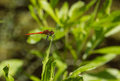 Scarlet dragonfly on the summer meadow Royalty Free Stock Photo