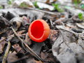 Scarlet elf cup Royalty Free Stock Photo