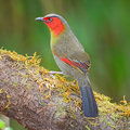 Scarlet faced liocichla colorful red bird ripponi standing on the log back profile Royalty Free Stock Images