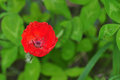Scarlet floweret red beautiful flower on a green background Stock Images