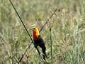 Scarlet headed blackbird amblyramphus holosericeus the is found in large reed beds of southern south american wetlands Royalty Free Stock Photo