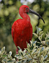 Scarlet ibis Stock Photos