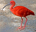Scarlet ibis 2 Stock Photography
