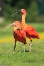 Scarlet ibis Stock Photography