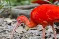 Scarlet Ibis Royalty Free Stock Photo