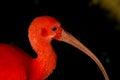 Scarlet ibis Eudocimus ruber close up Royalty Free Stock Photo