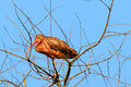 Scarlet ibis eudocimus ruber resting in a tree Stock Photos