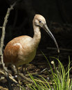 Scarlet ibis eudocimus ruber standing on one foot in a stream Stock Photos