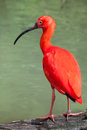 Scarlet ibis Eudocimus ruber. Royalty Free Stock Photo