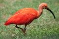 Scarlet ibis Eudocimus ruber Royalty Free Stock Photo