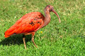 Scarlet ibis on grass Royalty Free Stock Photos