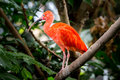 Scarlet ibis perched on a rainforest branch Stock Images