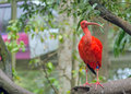 Scarlet ibis sitting on a branch in a zoo Stock Images