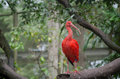 Scarlet ibis sitting on a branch in a zoo Royalty Free Stock Photos