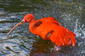 Scarlet ibis taking a bath Stock Images