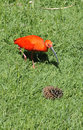 Scarlet Ibis Walking in Grass Stock Image