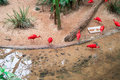 Scarlet ibis (Eudocimus ruber) at the Bird Park Royalty Free Stock Photo