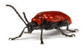 Scarlet lily beetle lilioceris lilii on a white background Royalty Free Stock Image
