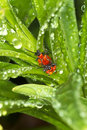 Scarlet lily beetle mating / Lilioceris lilii Stock Images